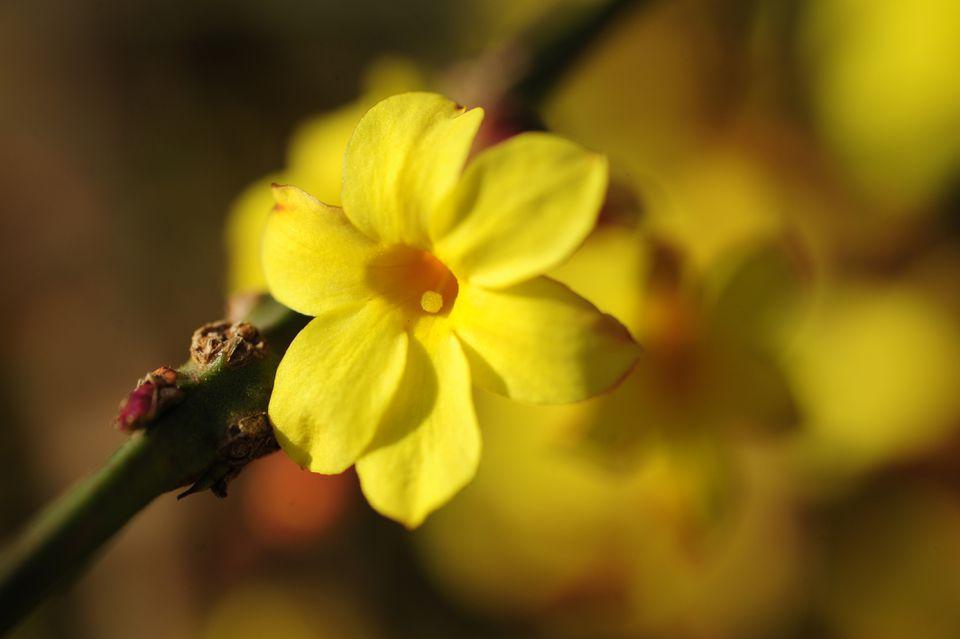 Winter jasmine with yellow flower on vine closeup