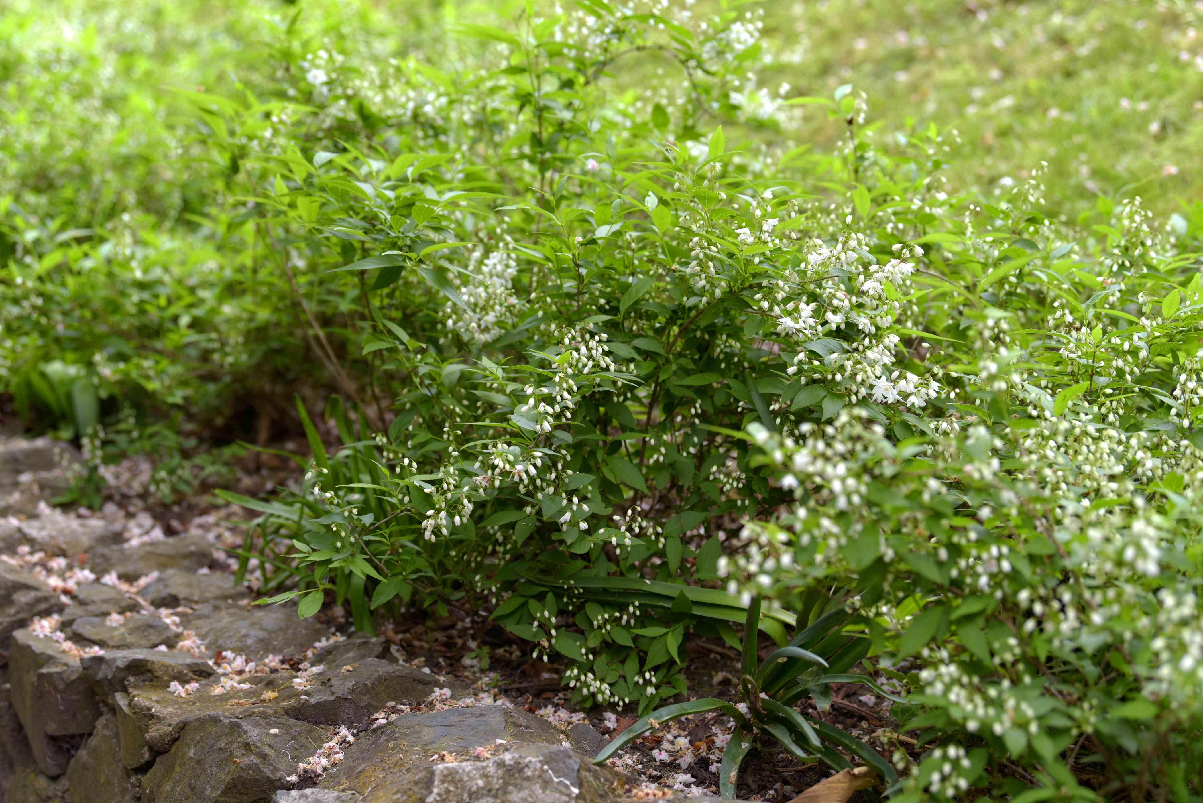 Dwarf Deutzia 'Nikko' shrub on stone ledge with small white flower blooms