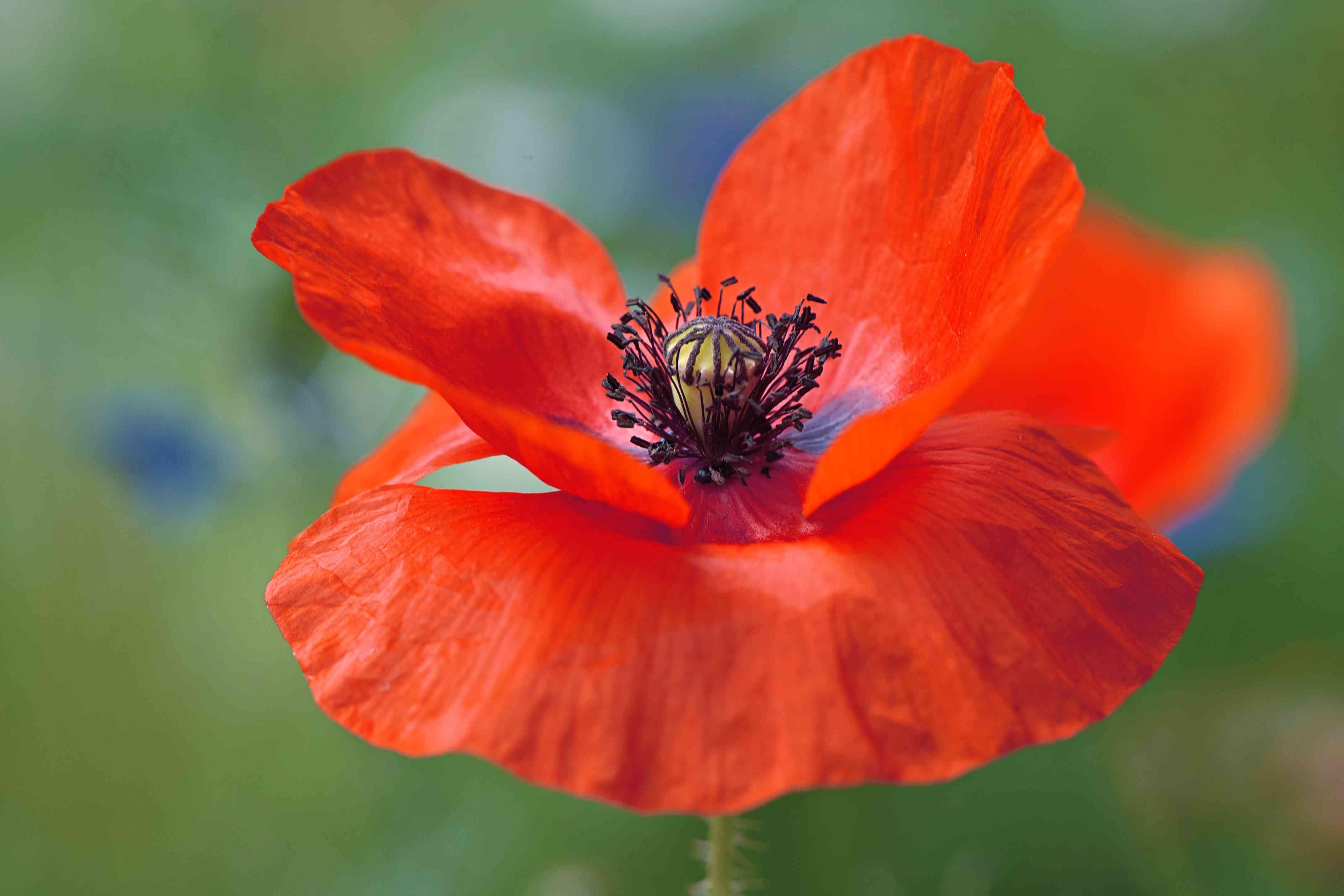 Imagen de primer plano de la vibrante amapola roja, (Papaver rhoeas), también llamada amapola de campo o flor de amapola de Flandes