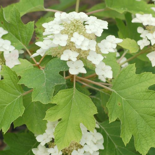 Picture of white flowers of oakleaf hydrangea bush.