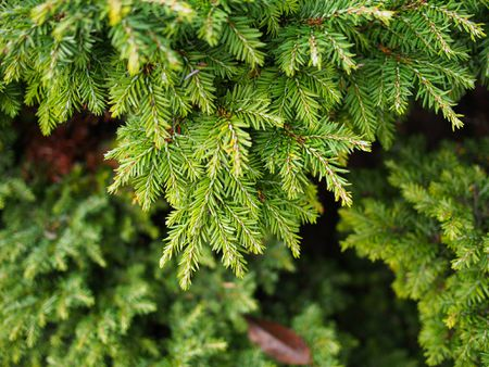 How To Grow And Care For Canadian Hemlock Trees