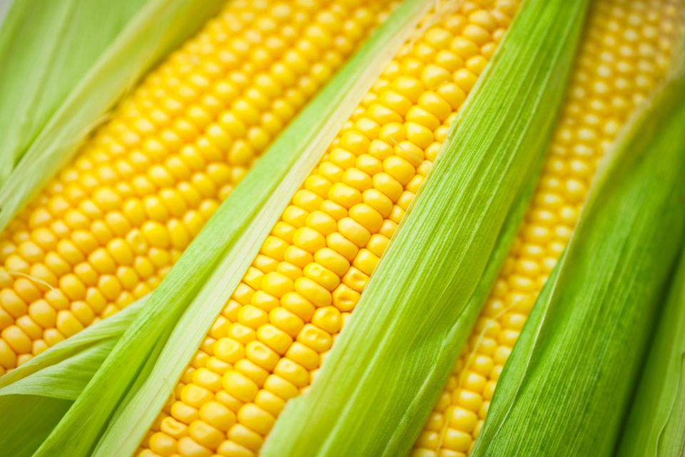 Several bright ears of fresh sweet corn