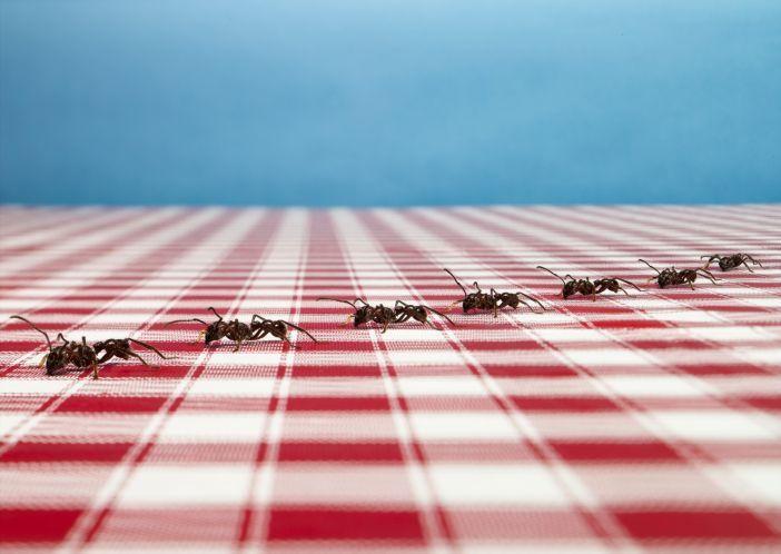 ants walking across picnic blanket