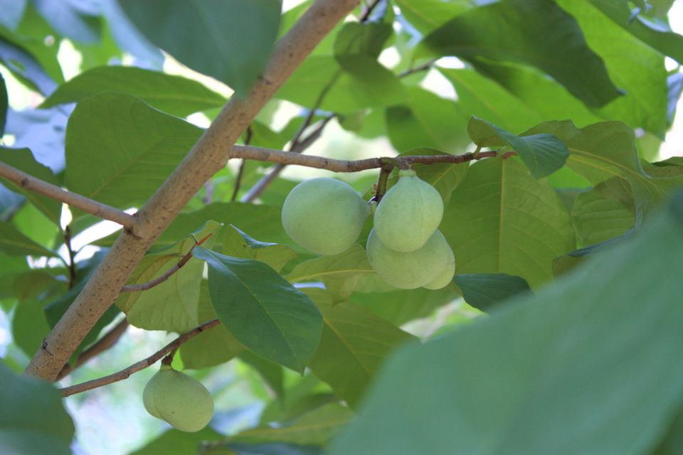 Fruit on a pawpaw tree
