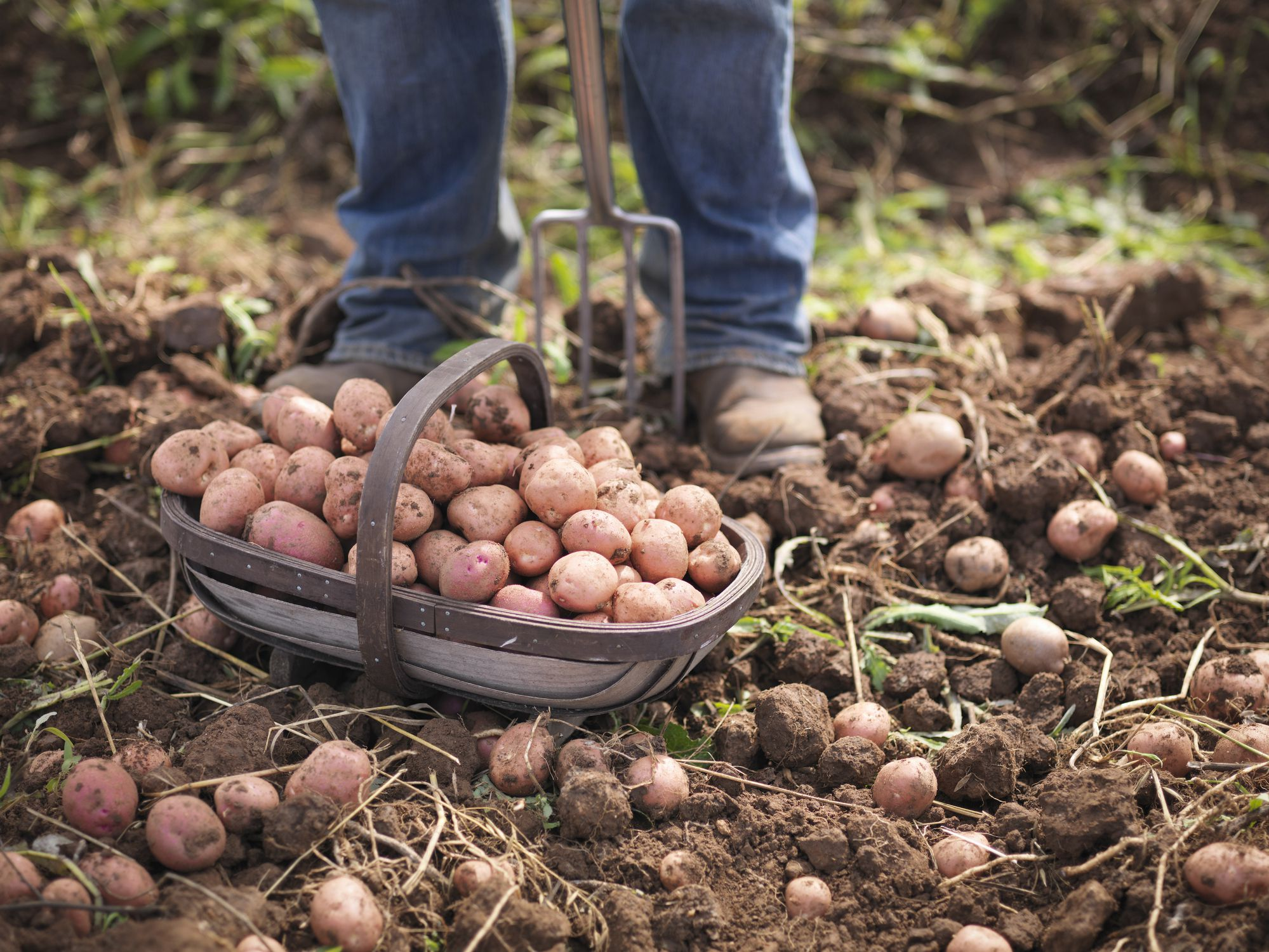 How to Grow Organic Potatoes in Your Garden
