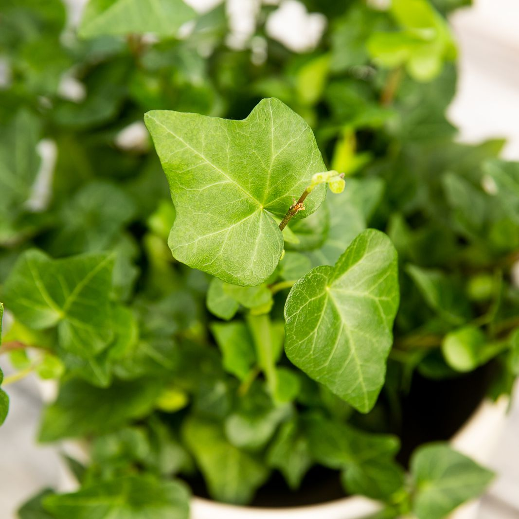 How To Grow And Care For English Ivy
