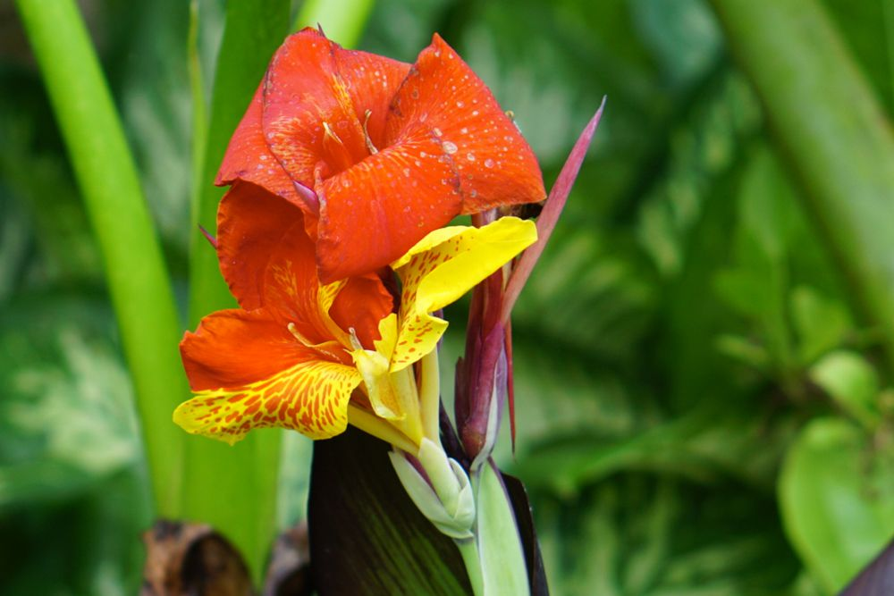 Canna lily with bright orange and yellow petals on end of stem closeup
