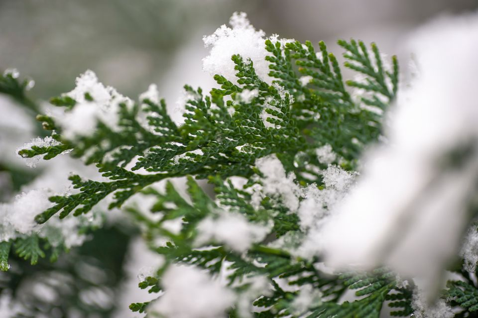 Chamaecyparis coniferous variety branch covered with snow closeup