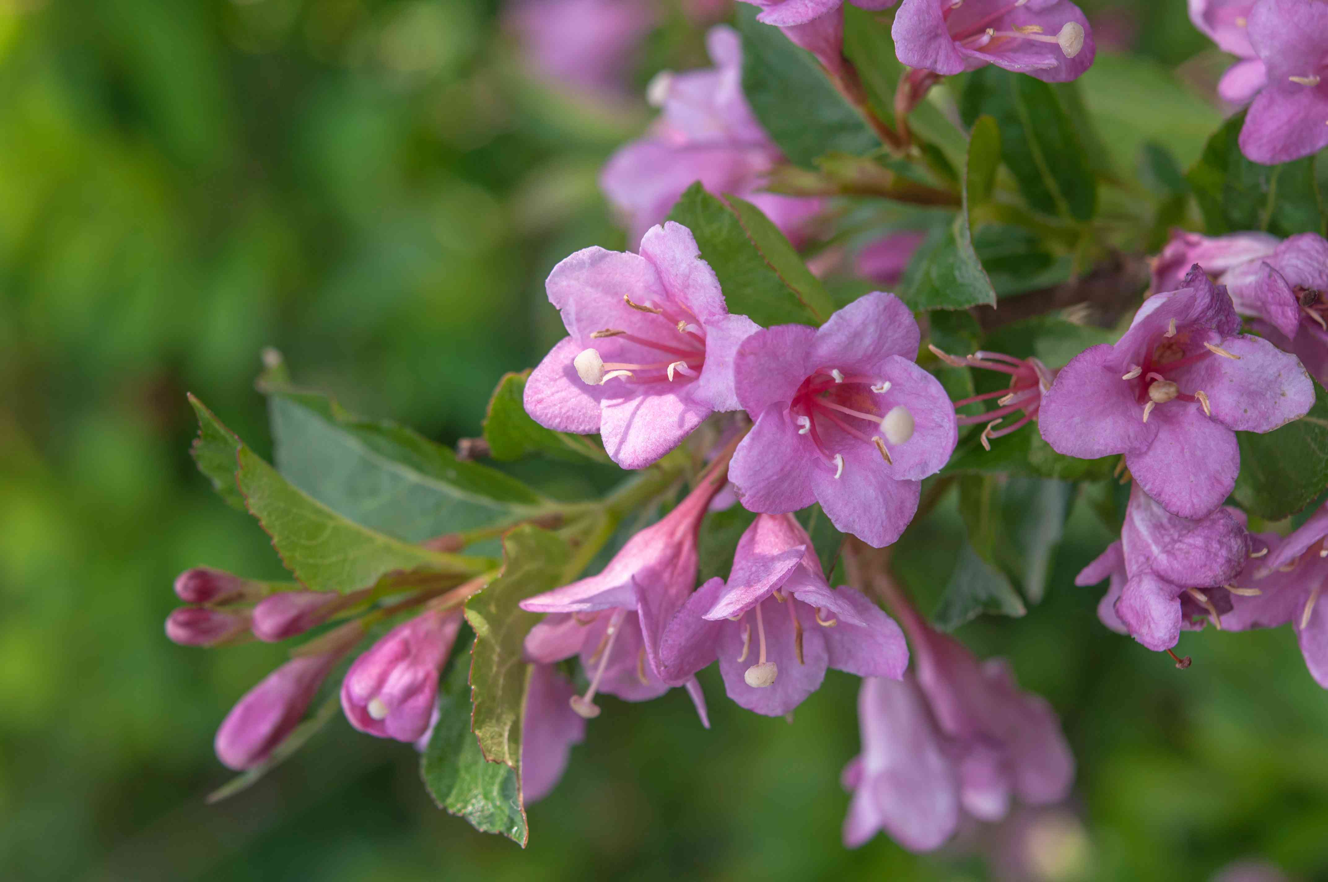 Weigela branch with small pink flowers, buds and leaves closeup