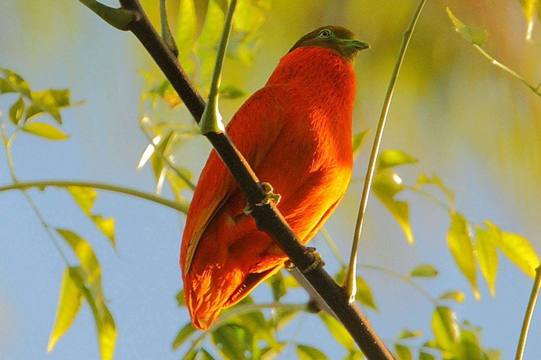 Orange Fruit-Dove