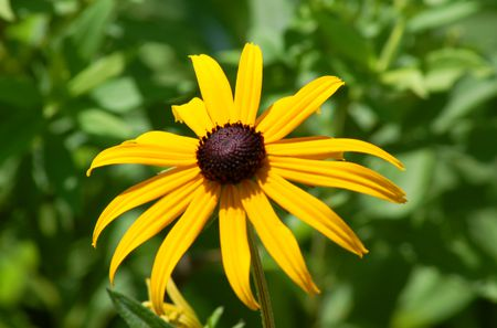 Black eyed susans growing rudbeckia flowers black eyed susan flower image is known for its cheer it is mightylinksfo