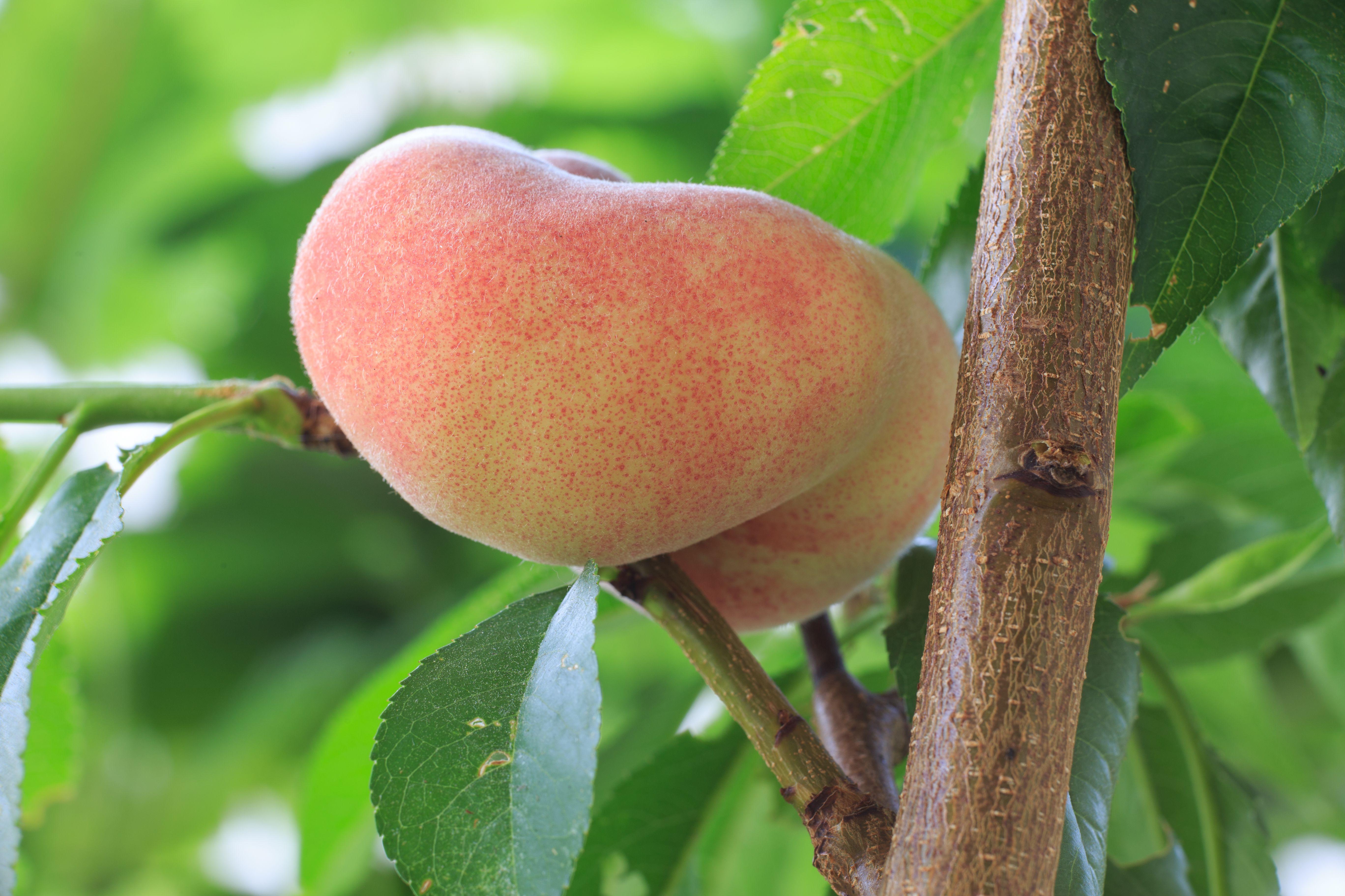 Peach, Red Haven - TheTreeFarm.com