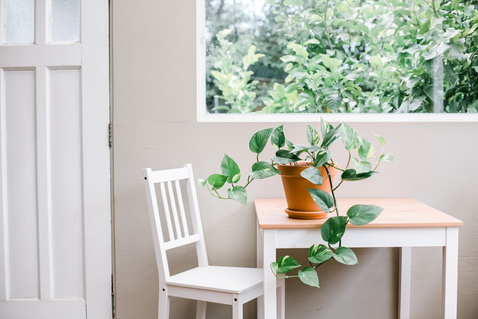 pothos on a kitchen table