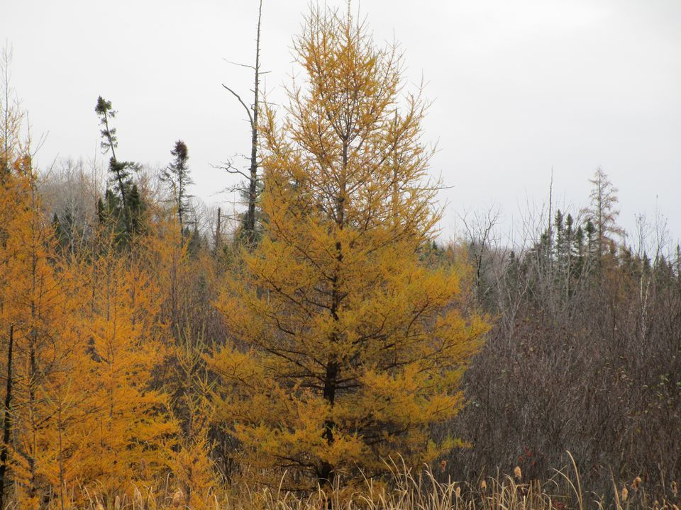 A Tamarack tree that has turned yellow in the fall.