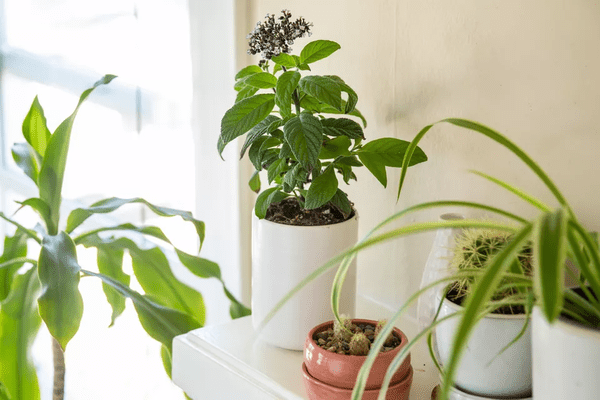 A heliotrope with purple flowers in a white pot among other houseplants near a window.