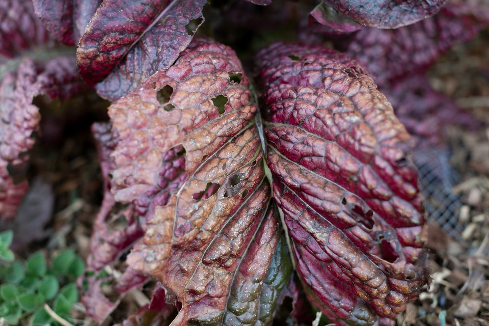 Purple and brown vegetable leaves with holes from pests closeup
