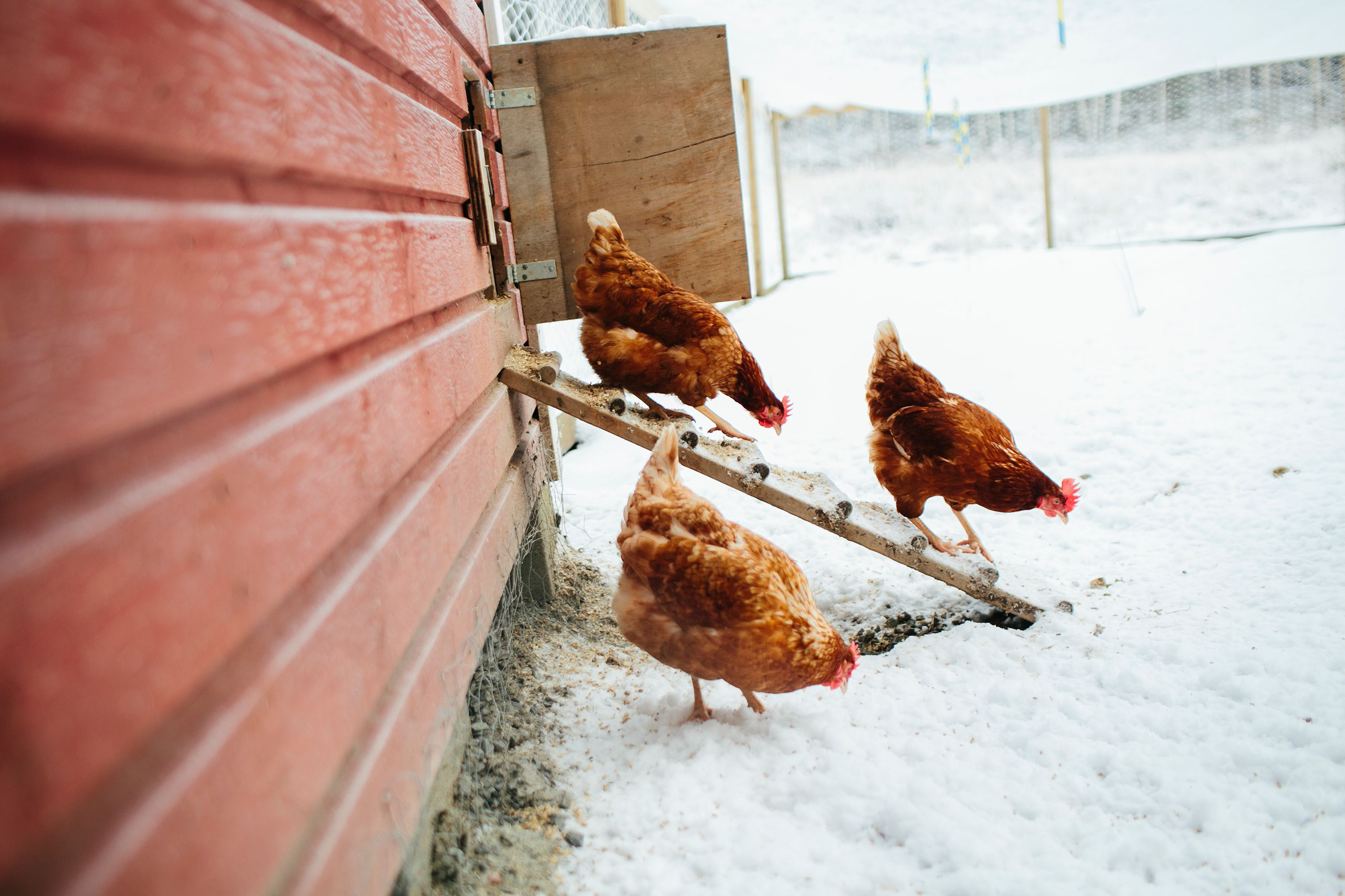Top 10 Tips For Keeping Chickens In Winter