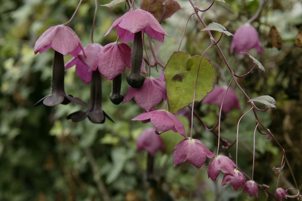 Close up of the Rhodochiton atrosanguinea flowers