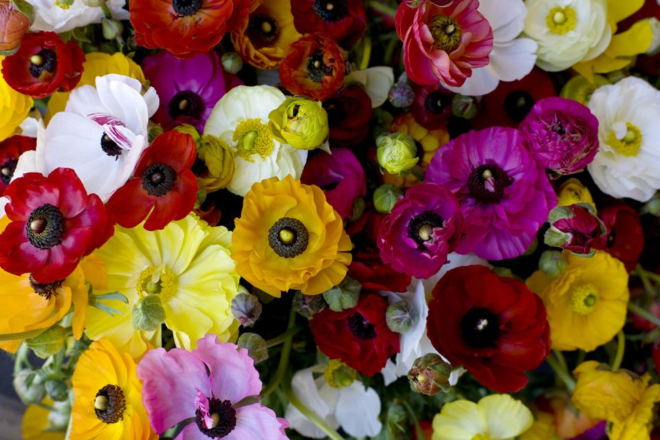 Mixed Ranunculus Varieties
