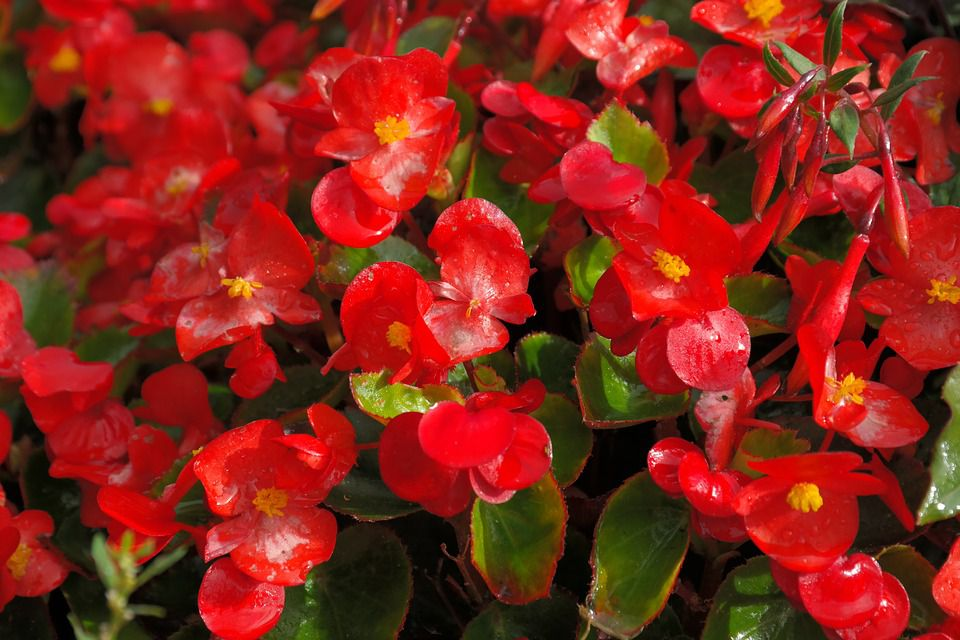 An Introduction To Growing Begonias