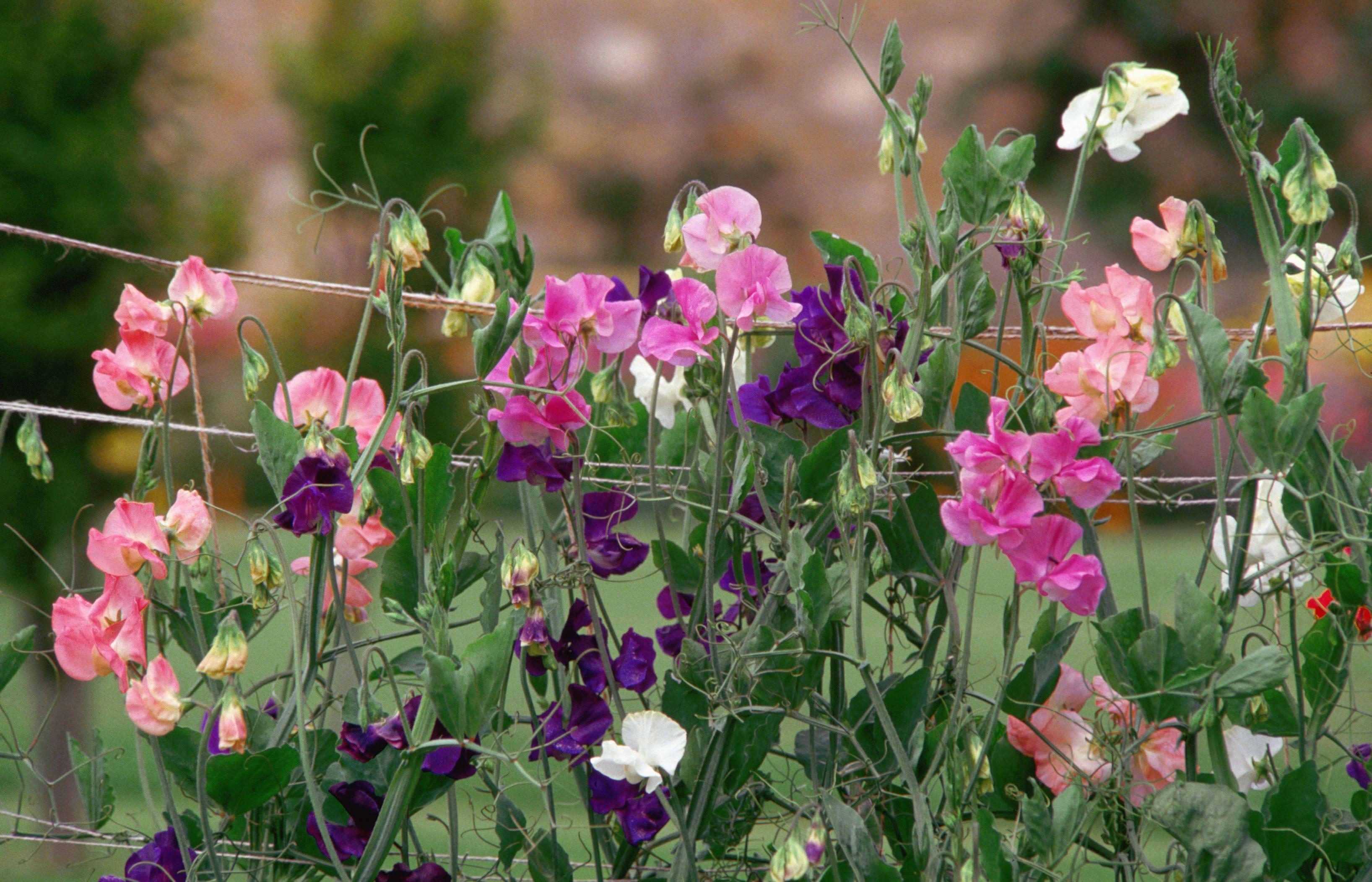 Sweet Peas (Lathyrus odoratus)