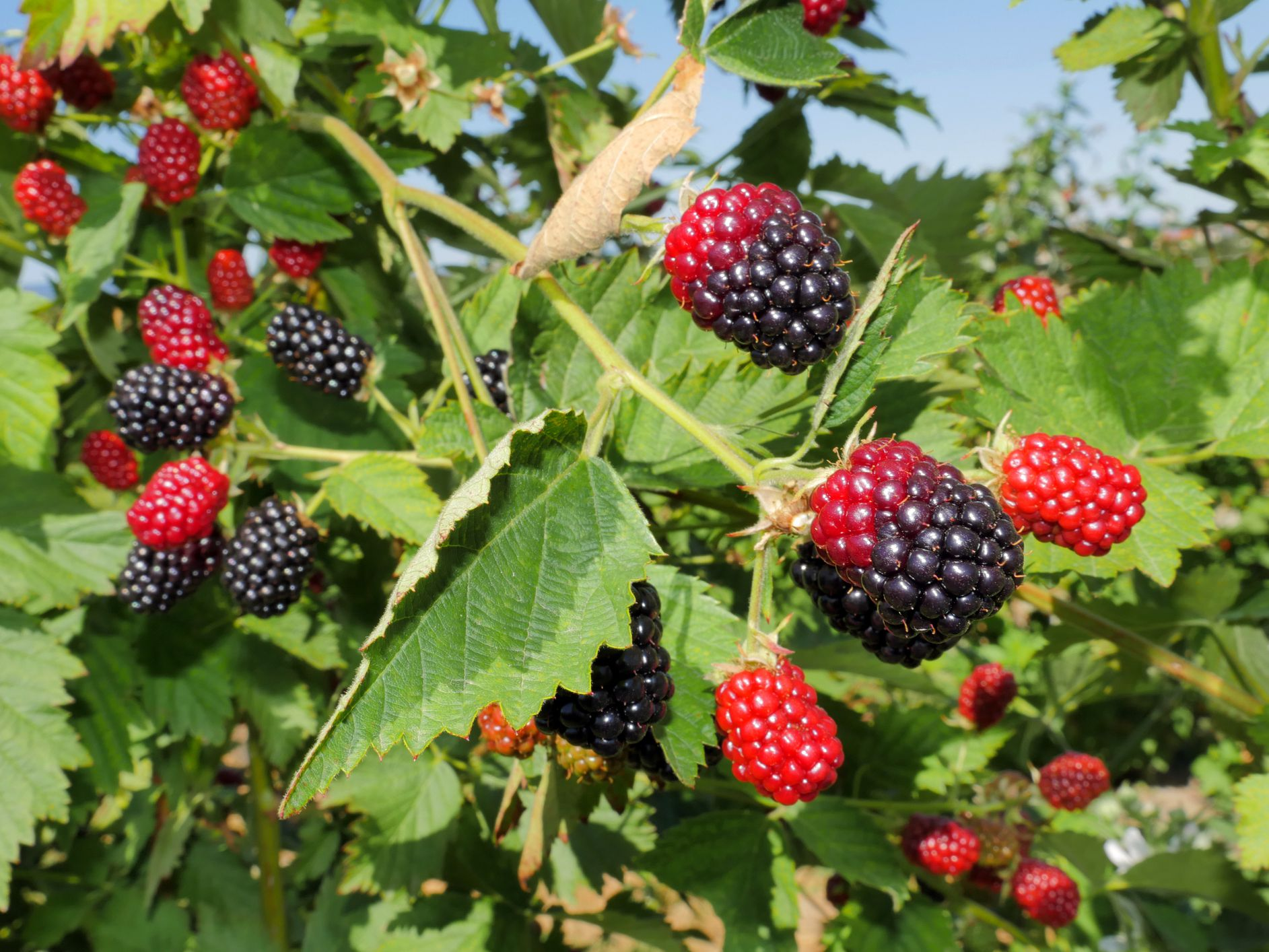 How To Grow And Care For Blackberries