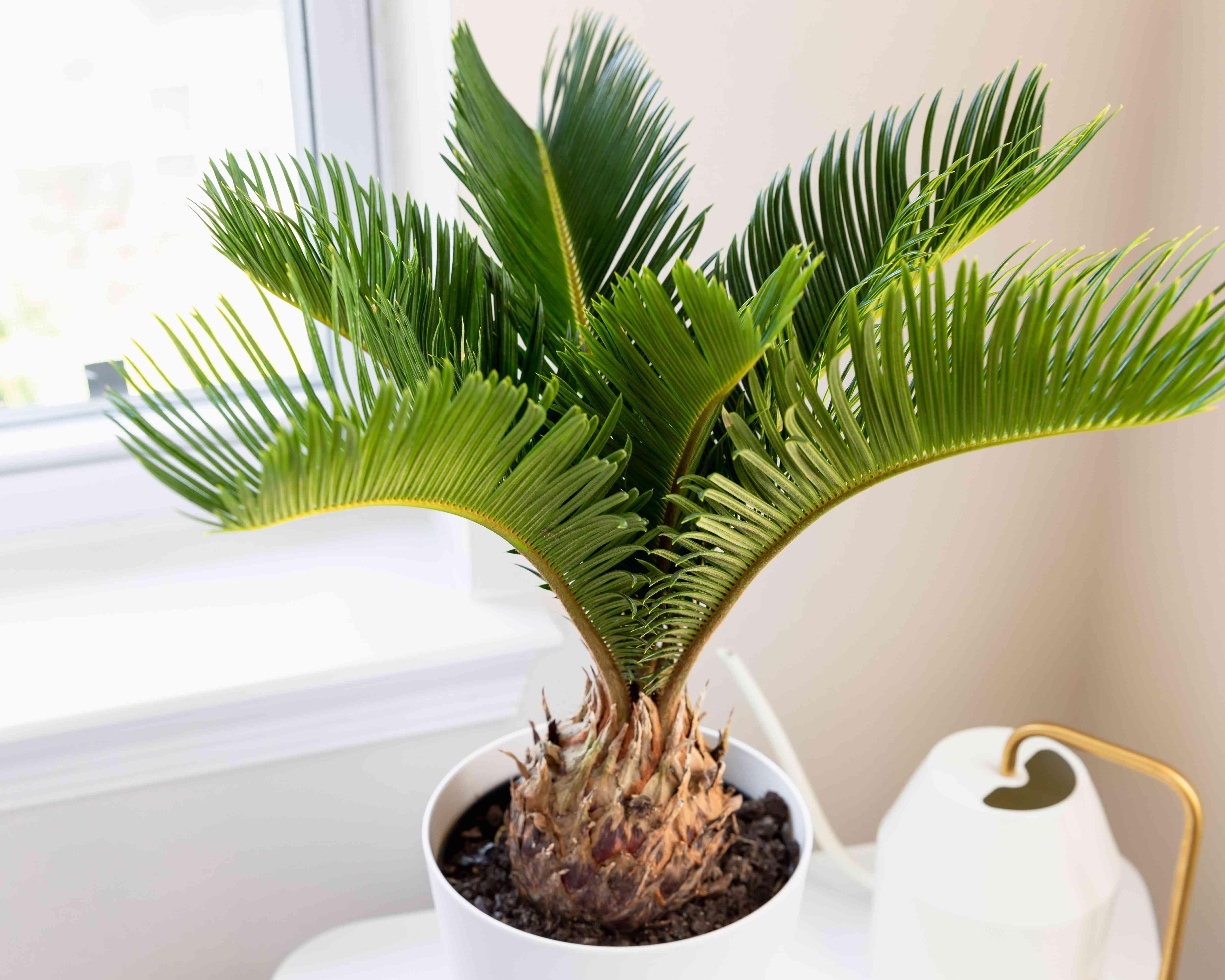 sago palm by a window