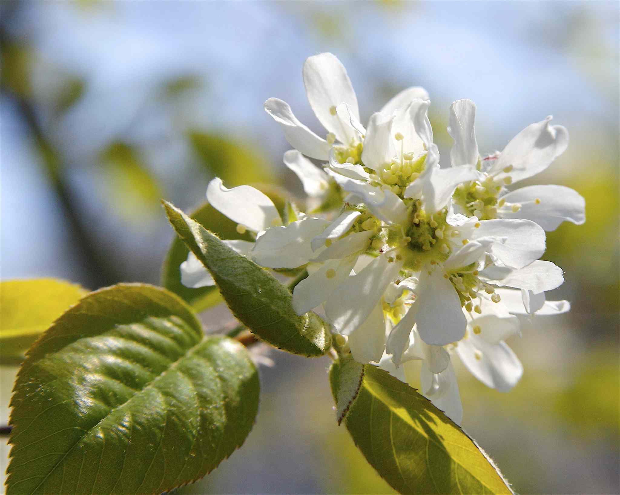 Roundleaf Serviceberry