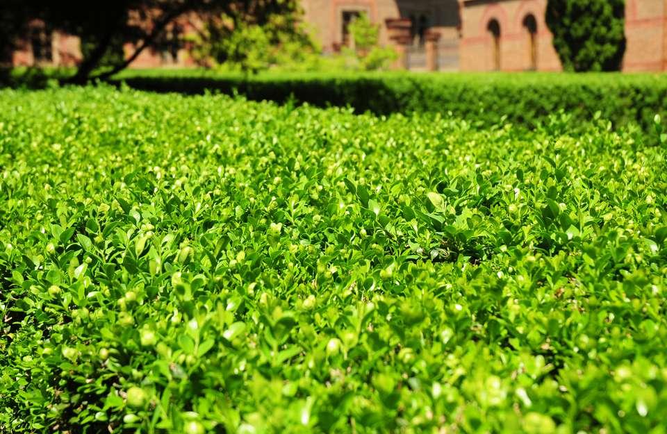 Buxus microphylla var. japonica 'Wintergreen' hedge.