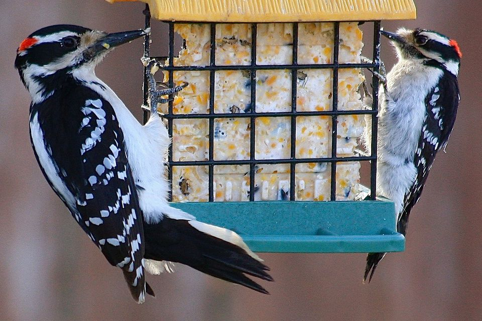 Hairy Woodpecker and Downy Woodpecker
