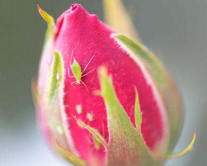 aphid and larvae on a rose
