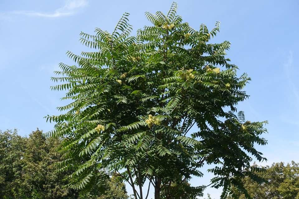 Tree of heaven (Ailanthus altissima)