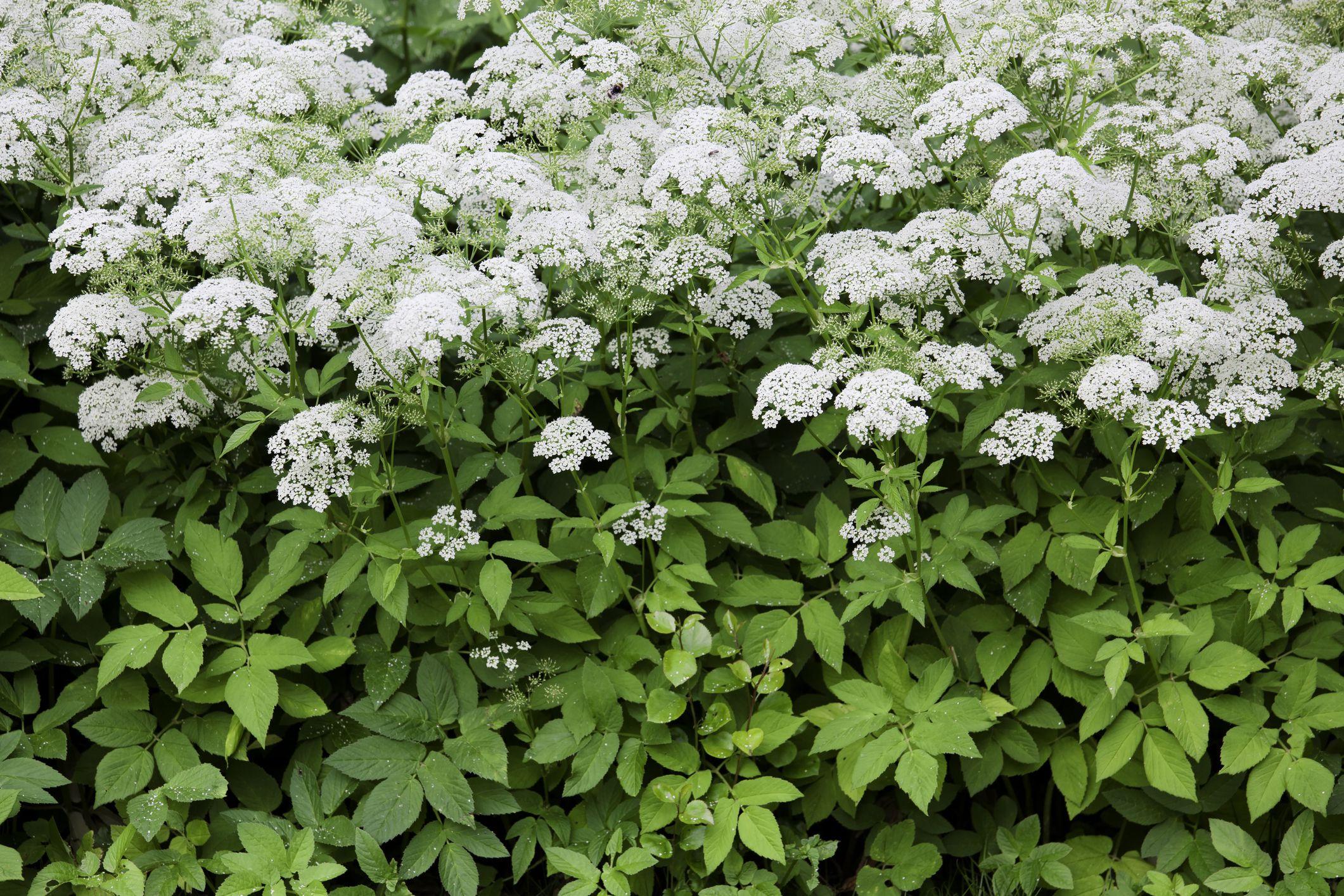 Plants that can cause skin irritations bishops weed aegopodium podagraria mightylinksfo