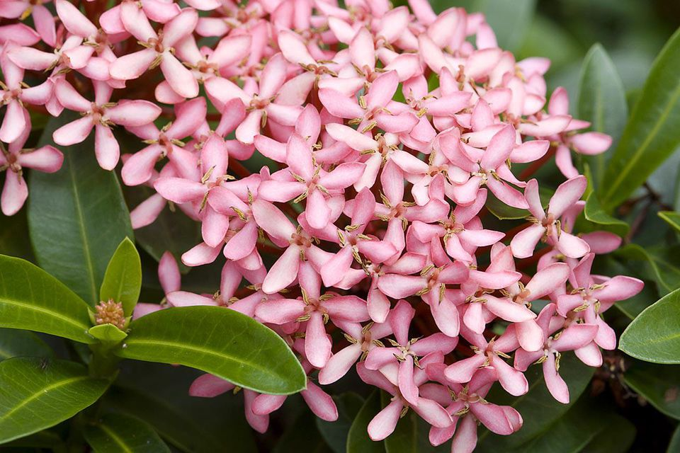 A close-up of an Ixora plant