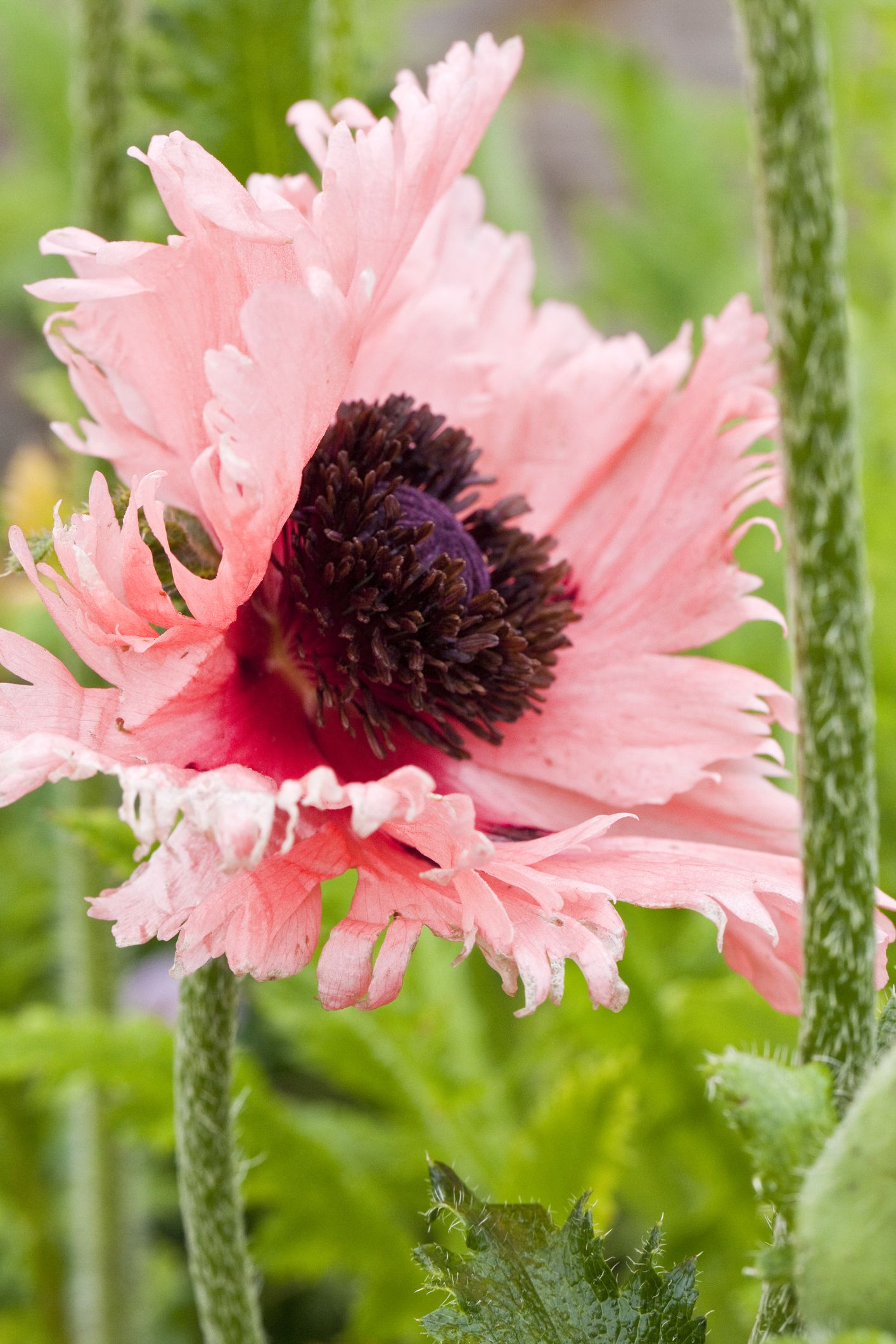14 Beautiful Garden Poppies