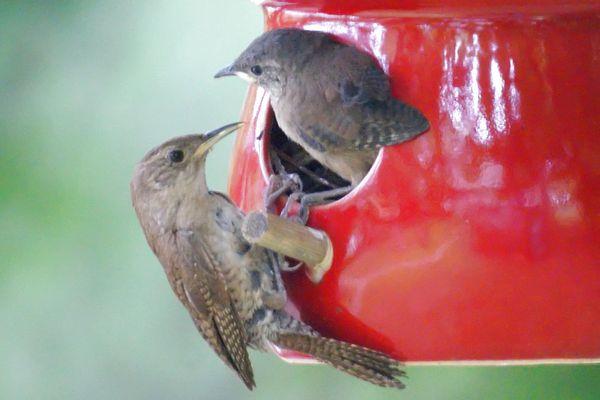 Wrens Nesting in a Birdhouse