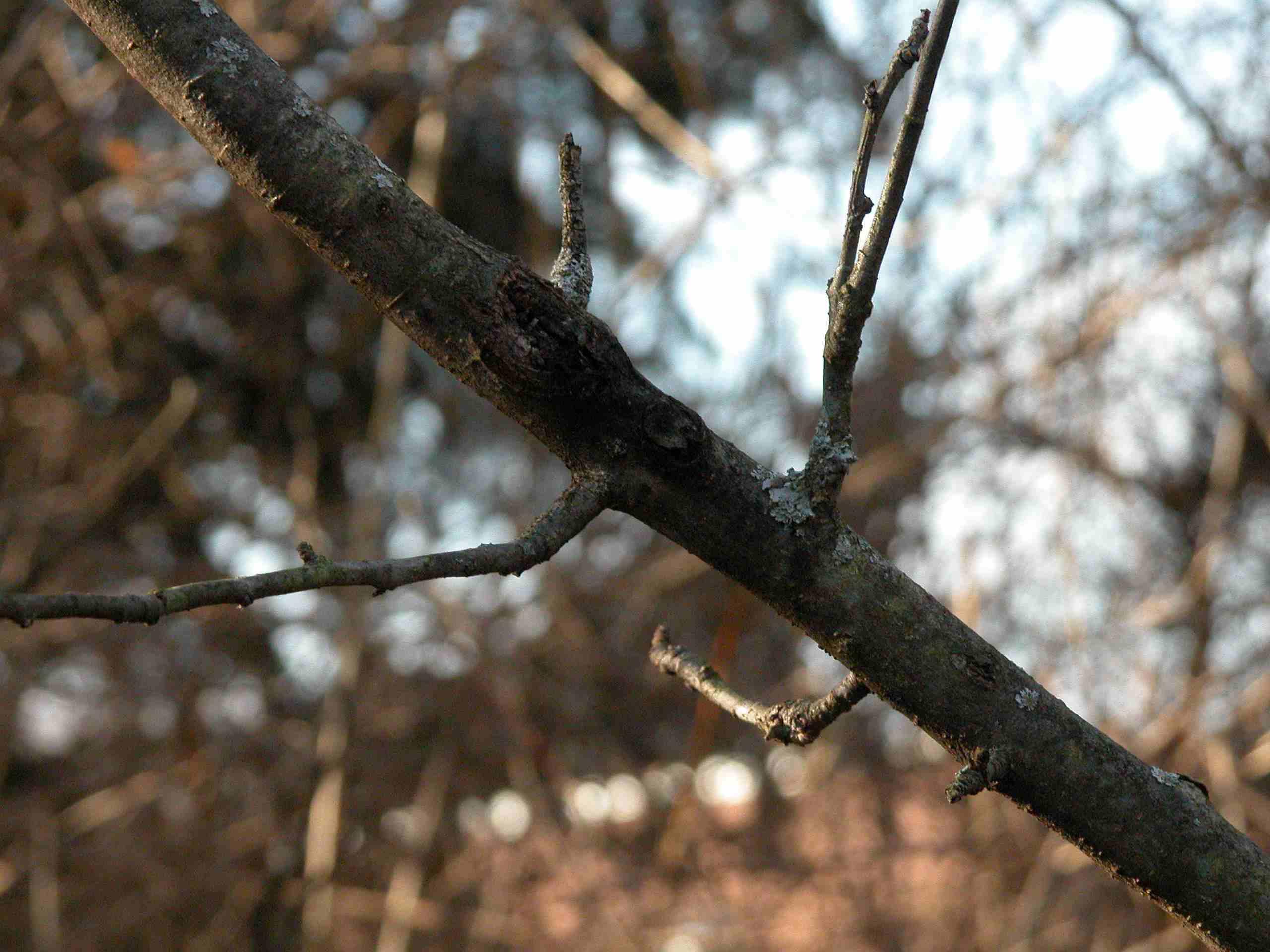 Apple Tree Pruning - Removing Dead and Diseased Wood