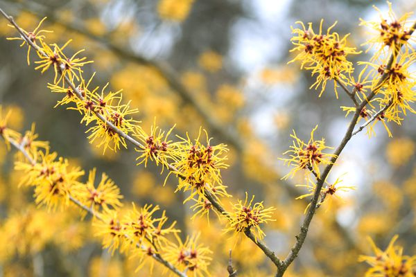 Mollis Witch hazel plant with spiky yellow flowers on branches
