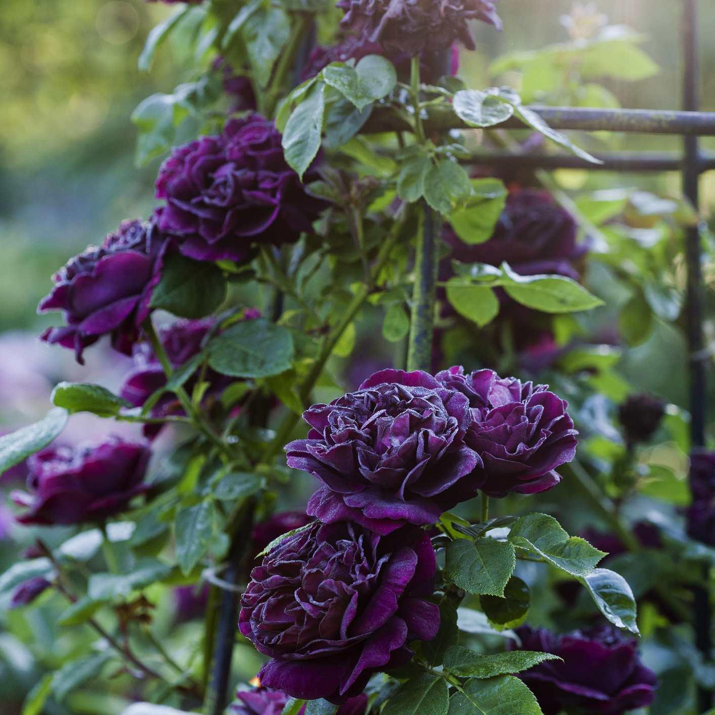 Purple blooms on the Souvenir du Docteur Jamain rose