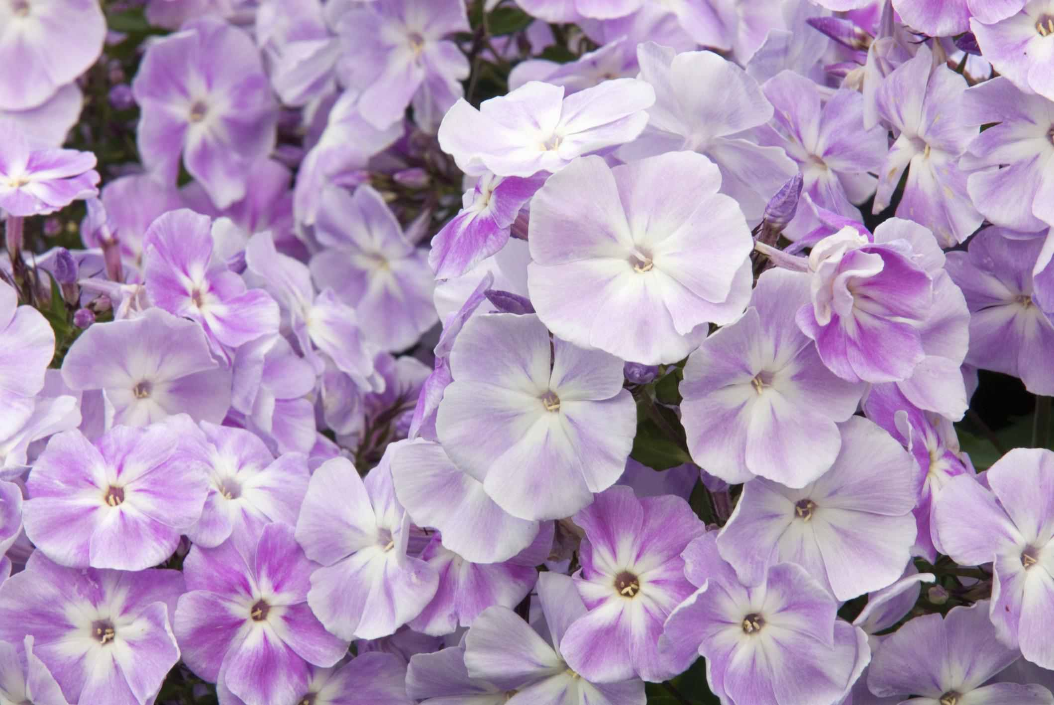 Perennial flowers that bloom all summer garden phlox mightylinksfo