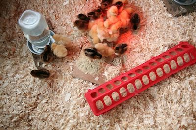 Chicks happily set up in a brooder