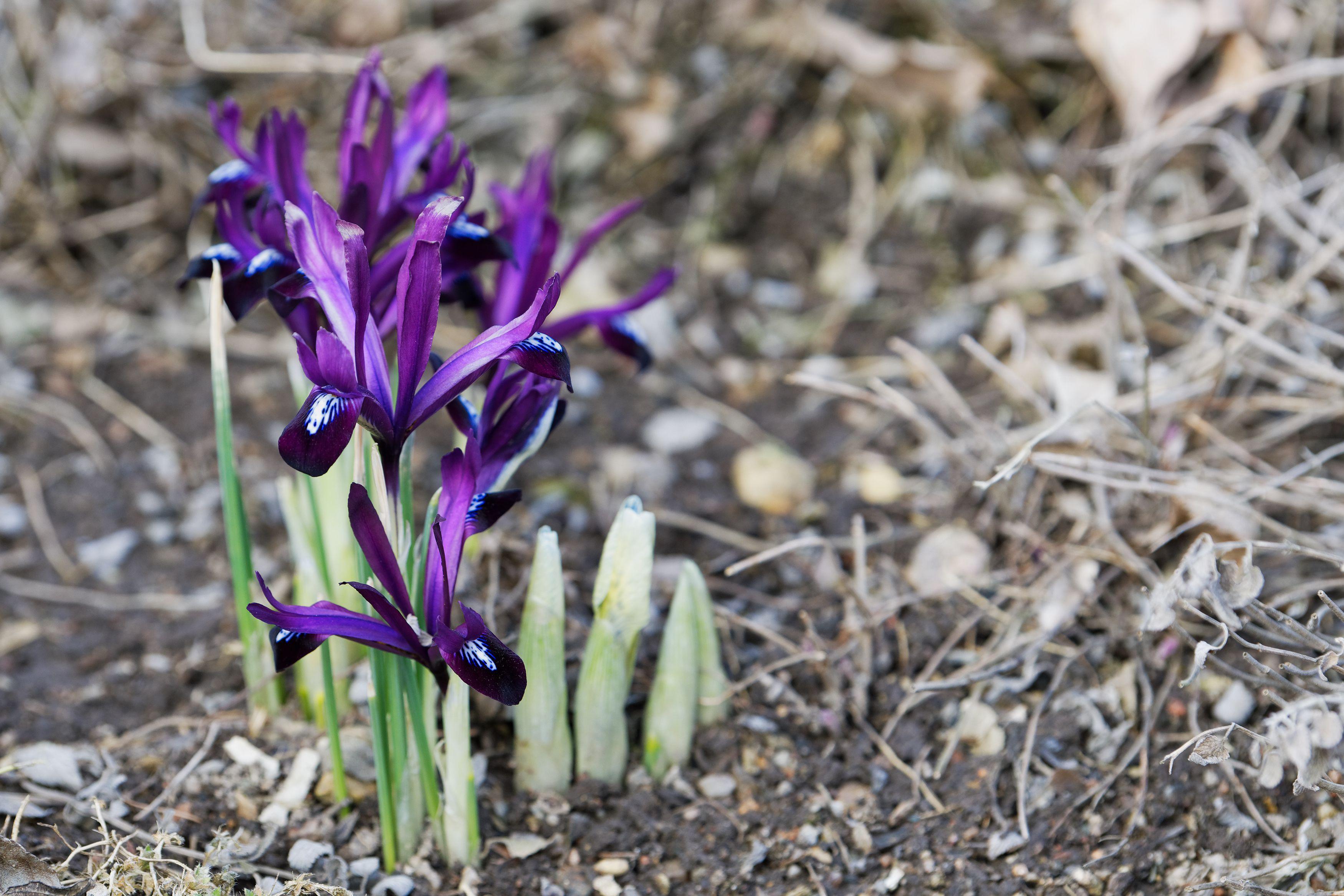 Reticulated irises in bloom.