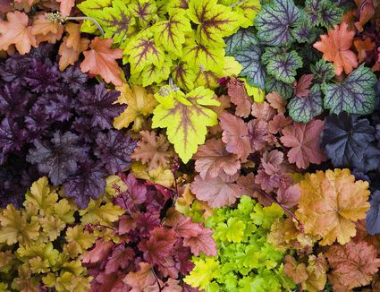 How to grow the chocolate vine akebia quinata how to grow heuchera organically mightylinksfo