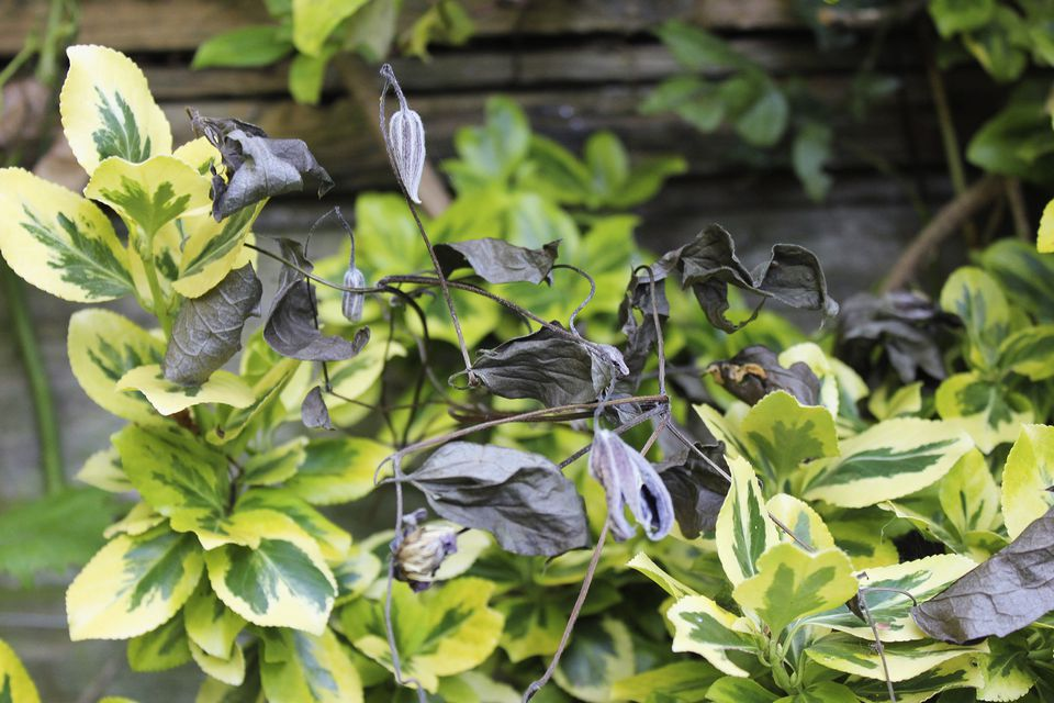 Clematis Wilt: A Common Fungal Disease on old house plant, yellow house plant, withered house plant, twisted house plant, waxy house plant, reviving a wilted plant, dry house plant, dying house plant, dead house plant,