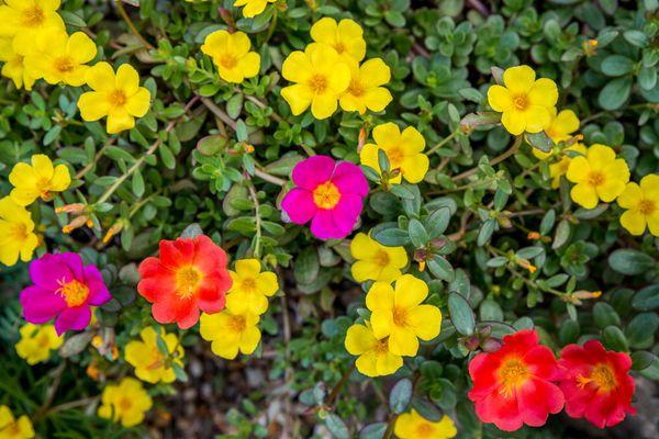 multicolored moss rose plants