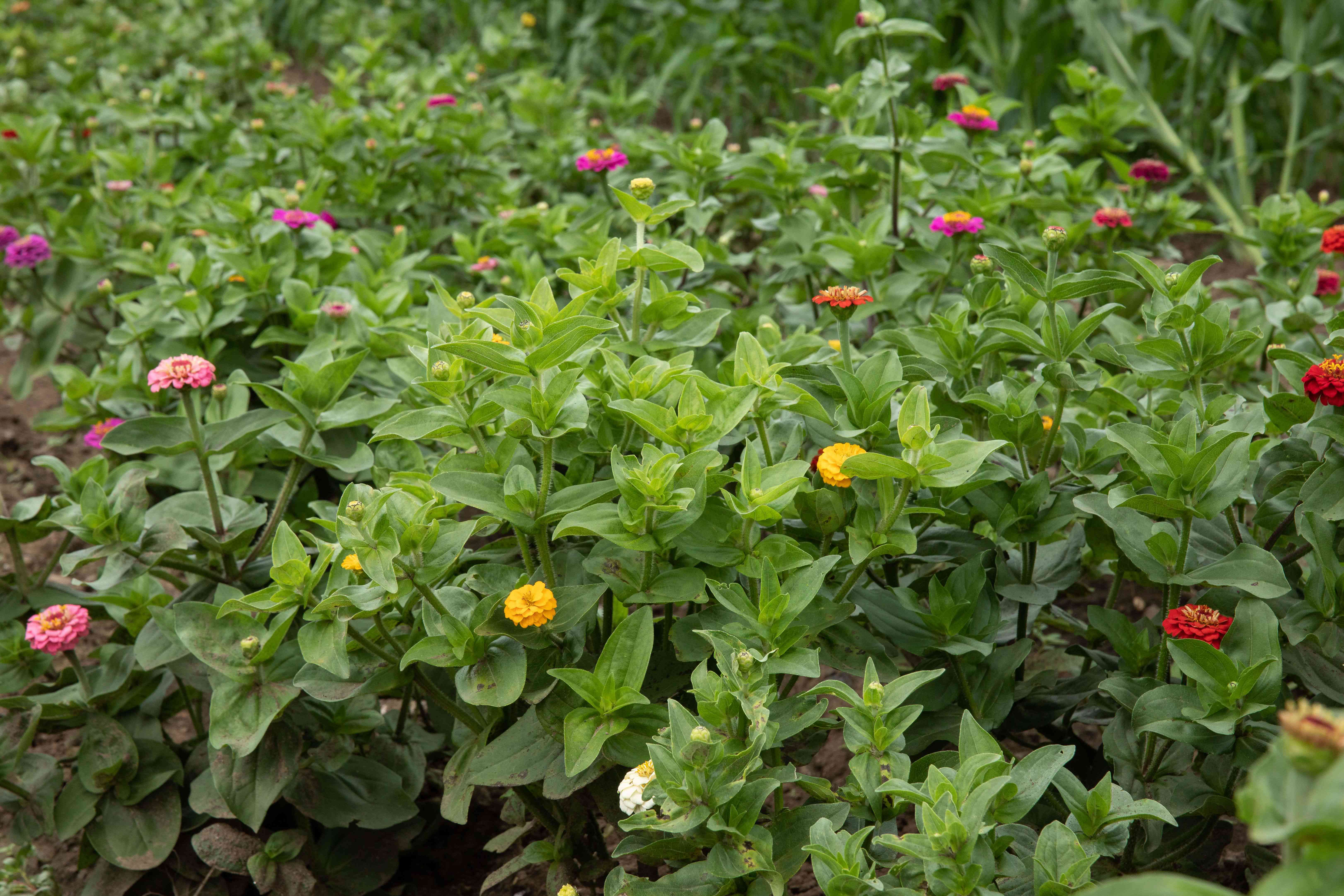 Zinnia flowers with colorful yellow, pink and red petals in garden