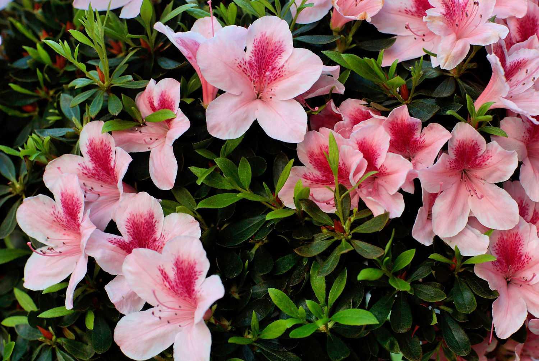 imagen del arbusto rosado de azalea