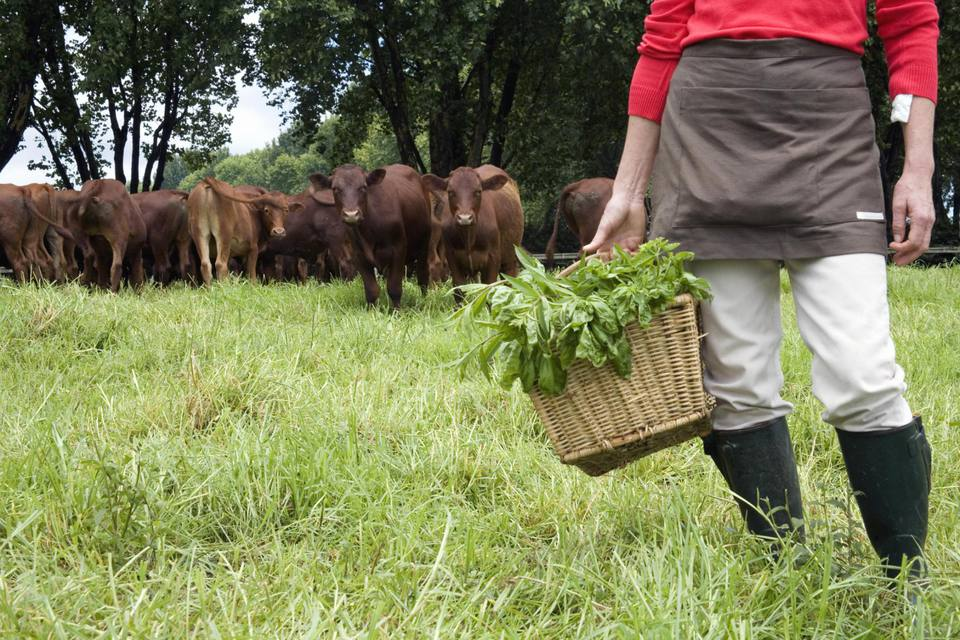 Woman stands in her pasture with basket of organic herbs and free range cattle in the background