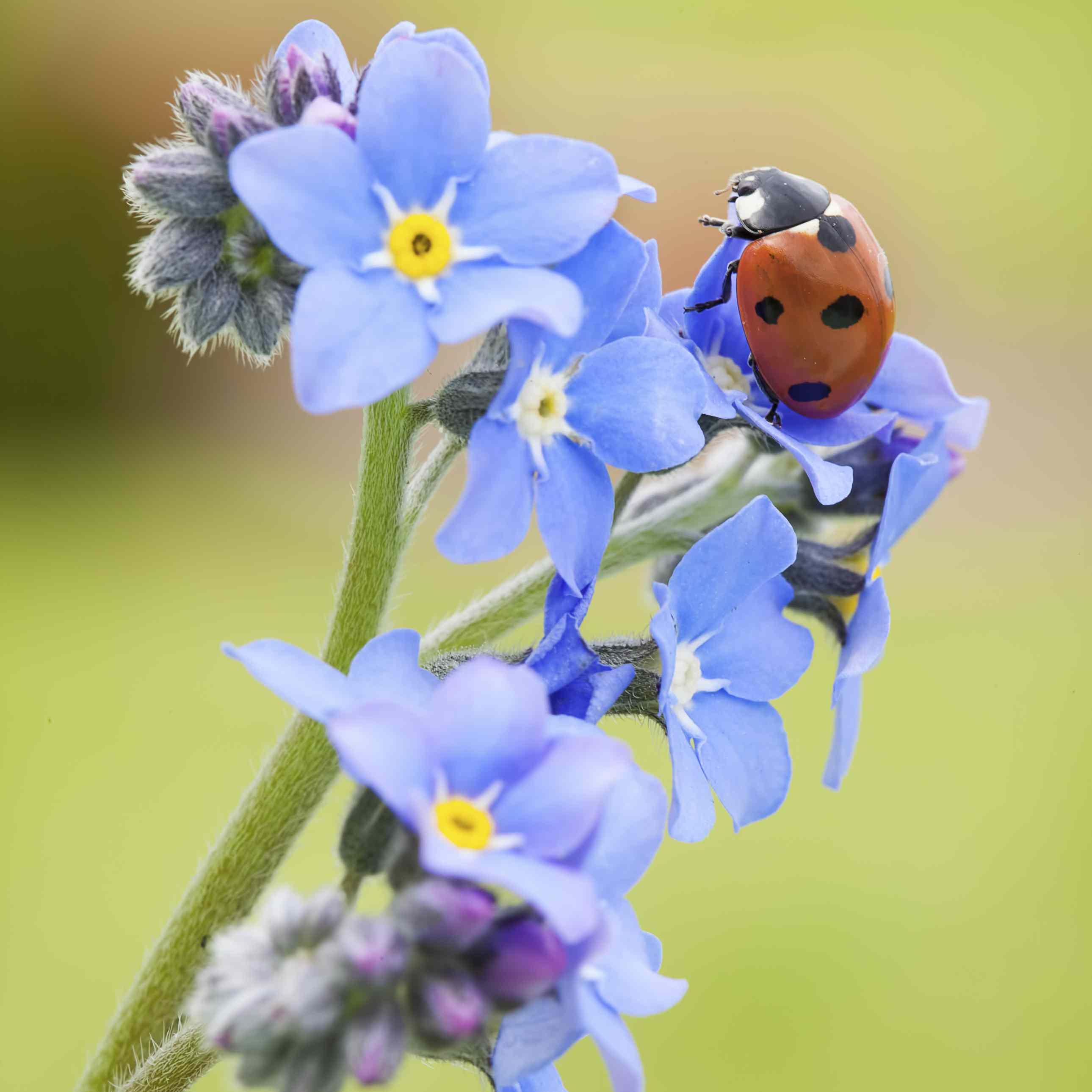 Tiny flowers with big influence in your garden forget me not flowers izmirmasajfo