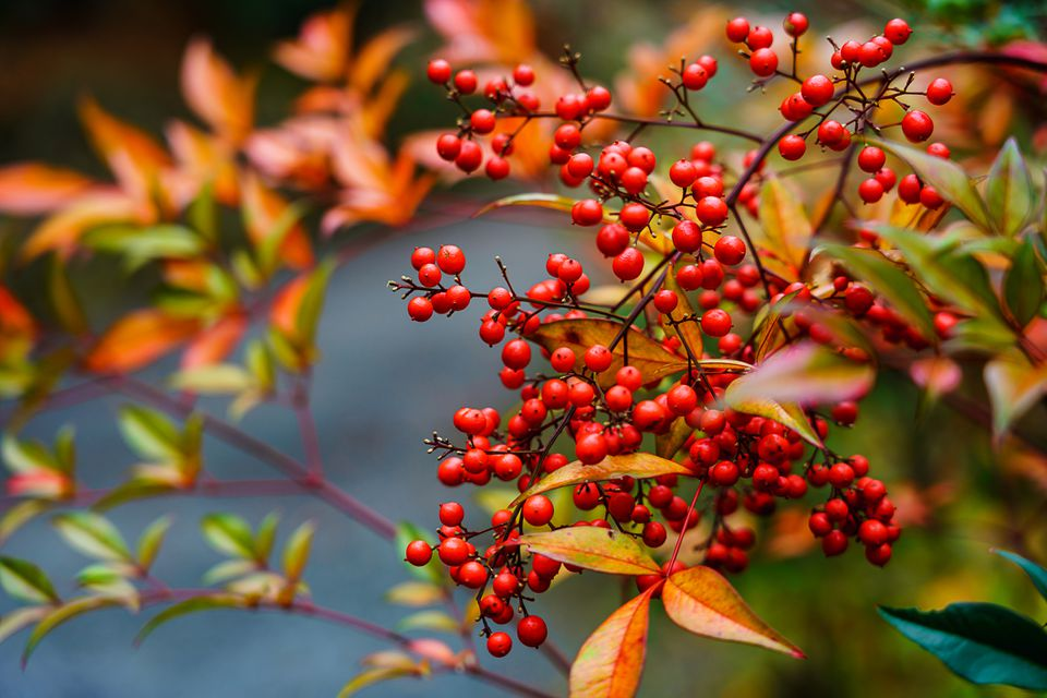 Nandina domestica fruit, Autumn in japan